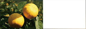 Citrus Junos Fruit Extract