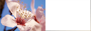 Prunus Yedoensis Leaf  Extract