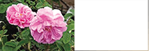 Rosa Centifolia Flower Extract